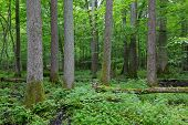picture of alder-tree  - Old alder tree natural stand of Bialowieza Forest in summer - JPG
