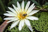 stock photo of water bug  - Bug is drinking the juice of lotus pollen in the front garden with is lit by bright light - JPG