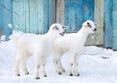 foto of baby goat  - White baby goats in the farm in front of blue door - JPG