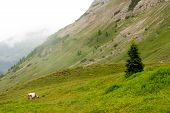 stock photo of cattle breeding  - herd of cattle grazing in the mountains - JPG