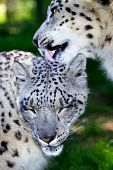 image of panthera uncia  - A tender moment between two snow leopards - JPG