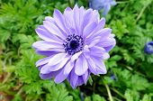 foto of blush  - purple mona lisa blush flower in garden under sunshine - JPG