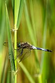 stock photo of broad-bodied  - A broad bodied dragonfly resting on reeds - JPG