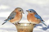 picture of bluebird  - Pair of Eastern Bluebird  - JPG