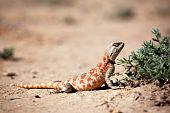 pic of monitor lizard  - Lizard in desert of Central Asia Kazakhstan - JPG