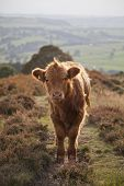 stock photo of highland-cattle  - A baby highland cow on a path in the Peak District