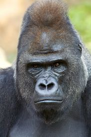stock photo of gorilla  - Closeup portrait of a gorilla male severe silverback on rock background - JPG