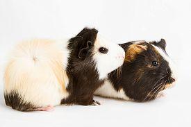 stock photo of pig  - Guinea pig little pet rodent - JPG