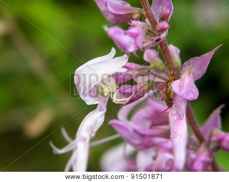 White Crab Spider in flowers