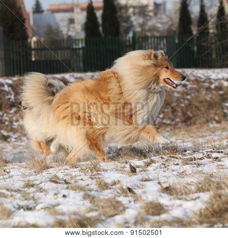 Scotch Collie Running In Winter