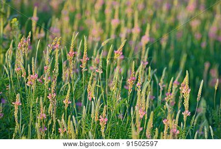 Flowering Sainfoin, Onobrychis Viciifolia