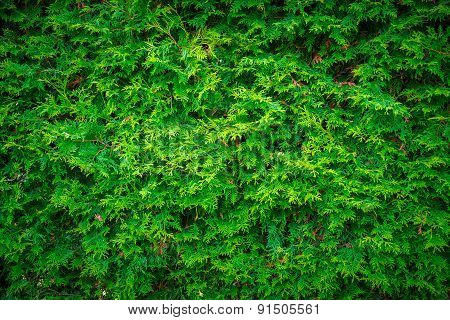 Cedar Leaves Hedge Wall Background