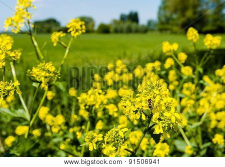 Honey Bee Collects Nectar From Yellow Flowering Rapeseed