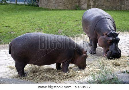 Eating Behemoths