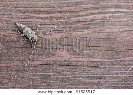 Long horned bug
