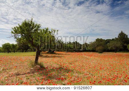 Red Poppy Meadow