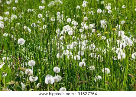 Blowball Meadow