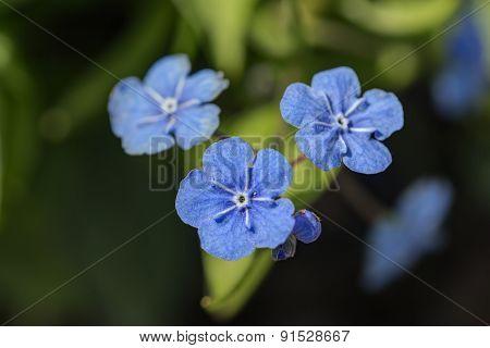Blue Flowers Close Up