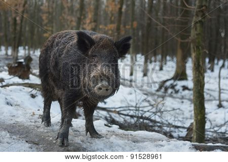 Portrait of a wild boar in the forest