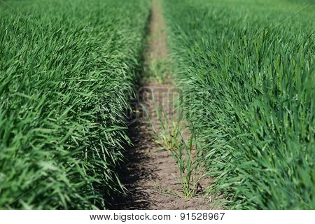 Rows of young green wheat. Field closeup