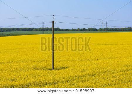 Field of flowering rape. Electric Poles