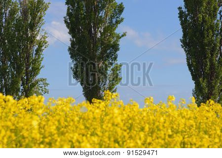 Blooming canola field on a background of trees