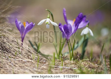 First spring flowers. Flowering snowdrops and crocuses