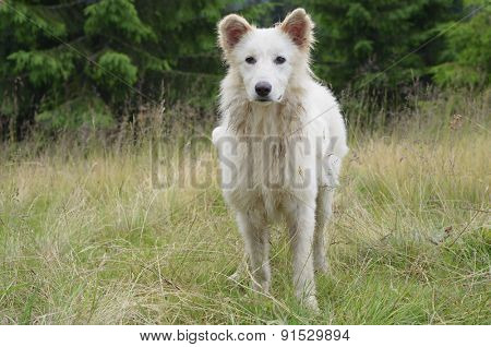 White dog that guards the flock of sheep in the mountains