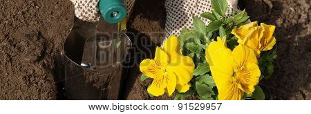 Planting Yellow Pansy