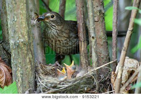 Turdus Merula, Blackbird