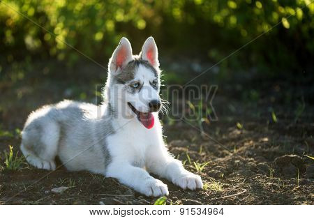 Husky puppy dog on the nature
