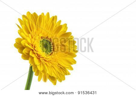 Yellow Gerbera Flower, Isolated On White Background.