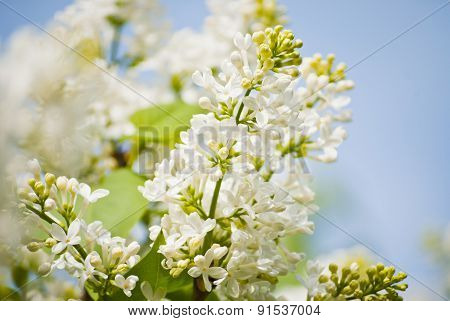 White Lilacs Blooming