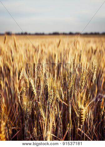 Yellow Wheat Field Ears
