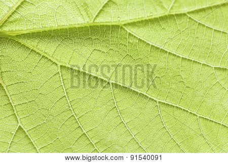 Green Leaf Close Up.