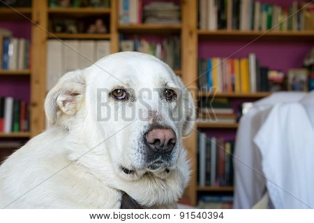 Spanish Mastiff lying on sofa with library on background