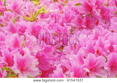 Many Flowers Of Rhododendron.