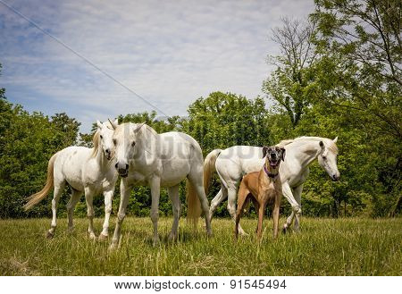 Three white Arabian horses with dog