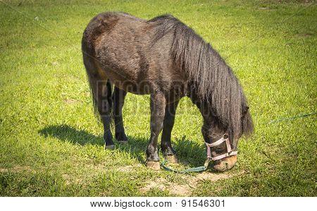 Black Pony Eats Green Grass Meadow