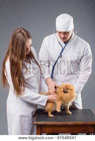 Two Vets With Phonendoscope Holding Cute Pomeranian Dog