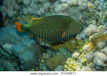 Orange-striped triggerfish