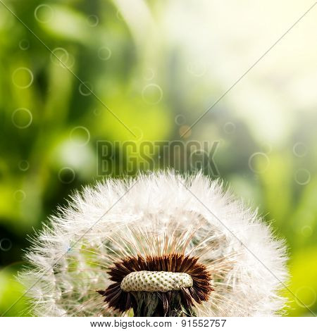 dandelion on a green background