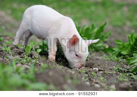 Piglet On Farm
