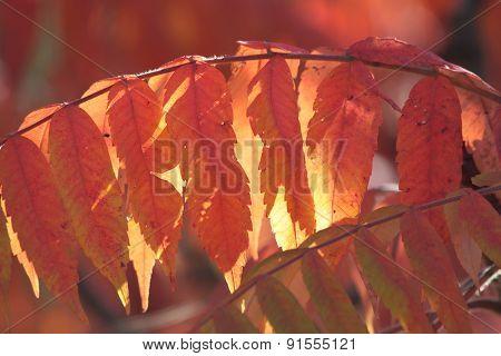 Sumac Tree Leaves