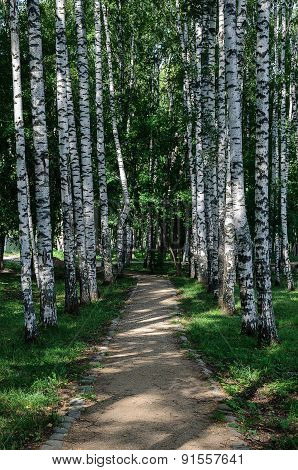 Birch Alley In Summer Time