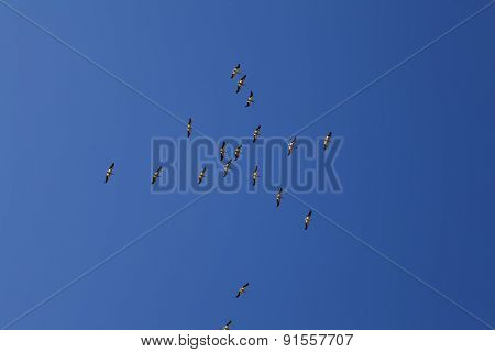 Flock Of Pelicans Flying In Blue Sky
