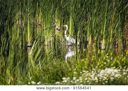White Egret Standing Among Green Reeds Wetlands