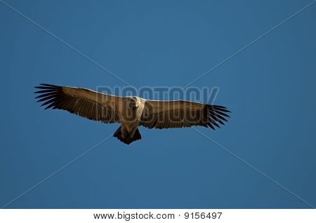 An Endangered Cape Vulture