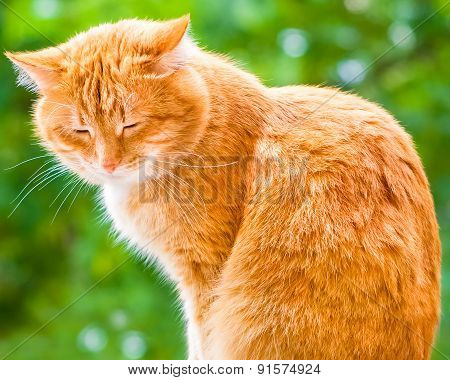 Ginger Shorthair Cat Sitting And Sleeping In Sunny Garden At Summer Day