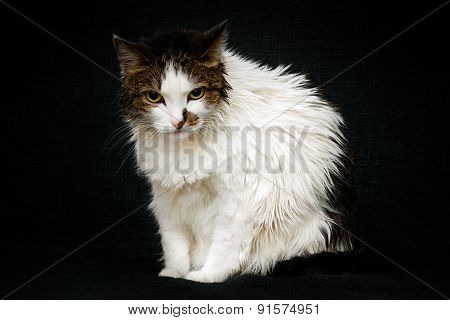 Unhappy Wet Cat With Bright Yellow Eyes Sitting On Sofa. Angry Cat After Bathing